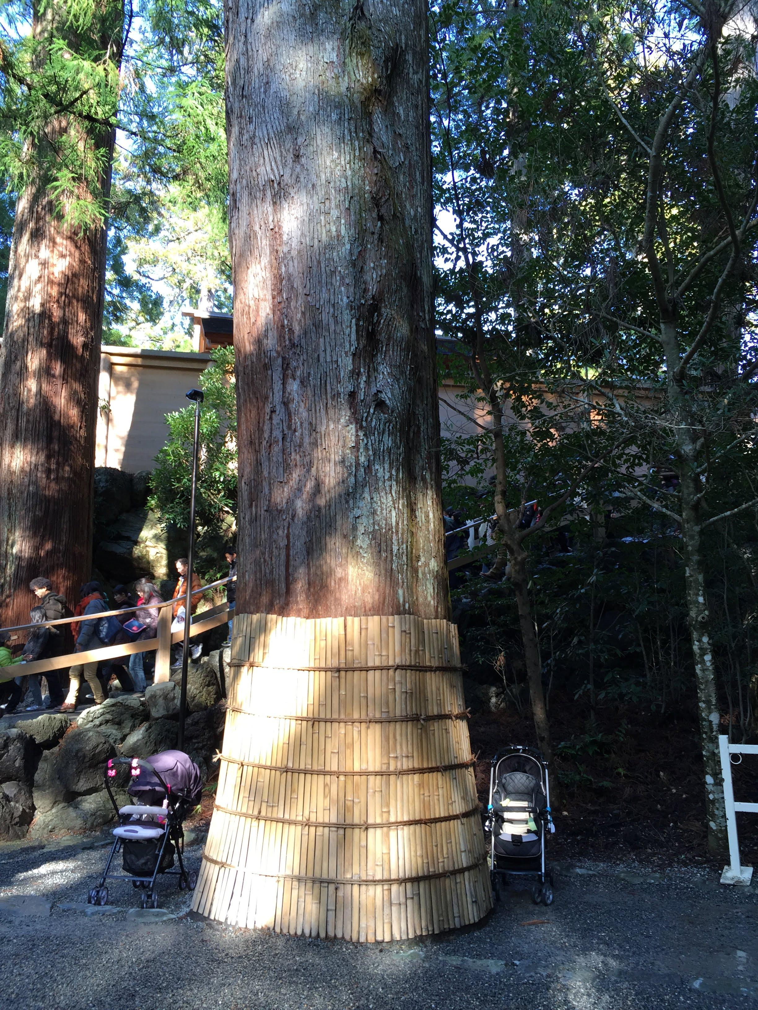 神宮裏的大樹