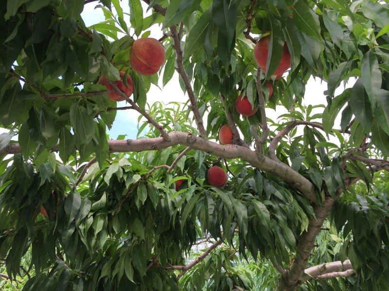 一個個紅桃掛在樹上