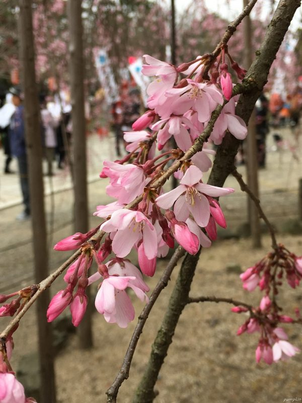 和歌山城的櫻花