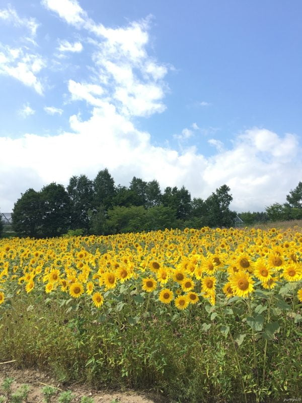 深山峠的向日葵田