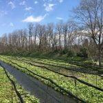大王山葵農場