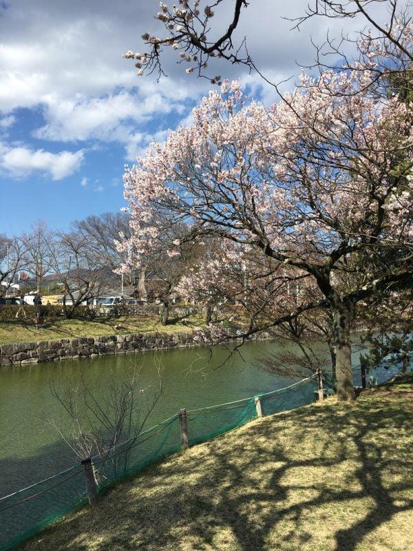 日本四大國寶城 - 松本城的小櫻花