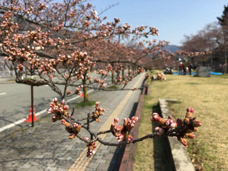 含苞待放的櫻花
