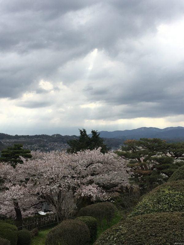 兼六園的櫻花