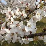 和倉溫泉櫻花