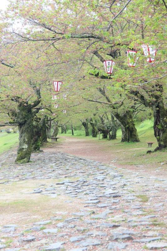 走過錦帶橋,就有一道櫻花路,我們來遲了,櫻花只有零星的