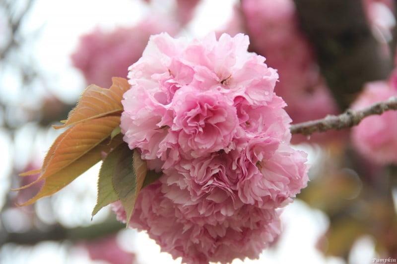這是關山櫻,八重櫻的一種,有特別多的花瓣