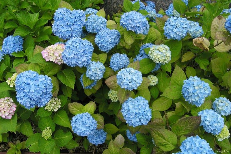 函館酒店外的繡球花