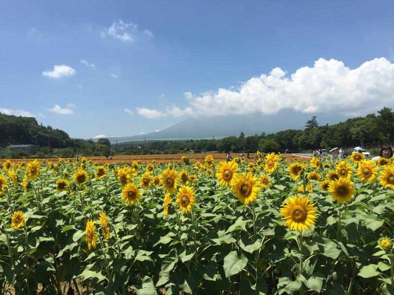 花之都公園 - 無料場的向日葵