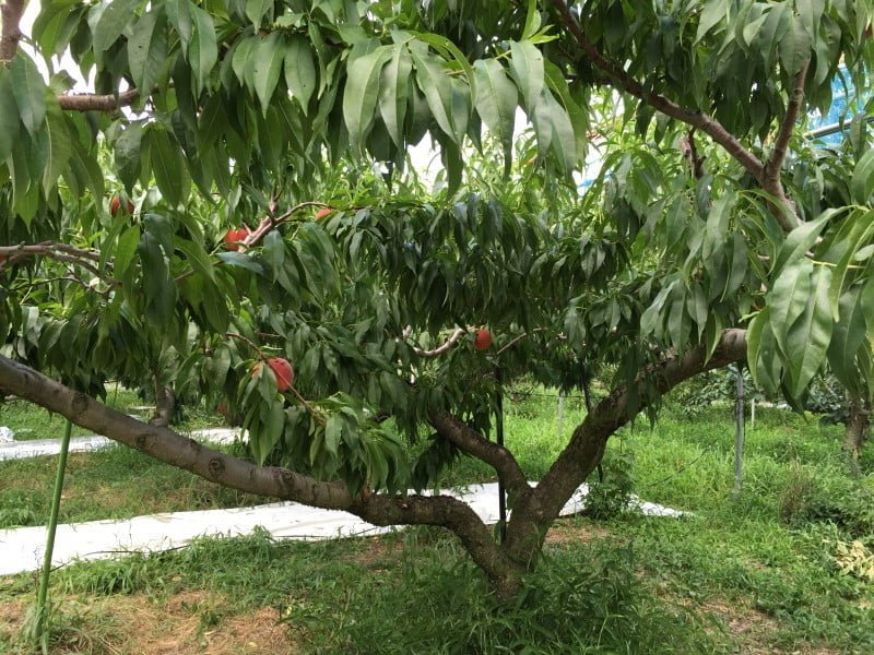 桃樹不是很高