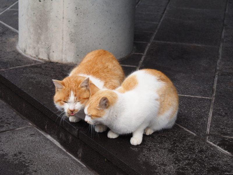 櫻島上幸福的小貓