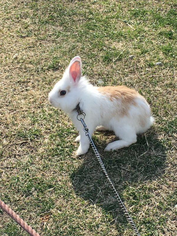 日本四大國寶城 - 松本城的小兔子