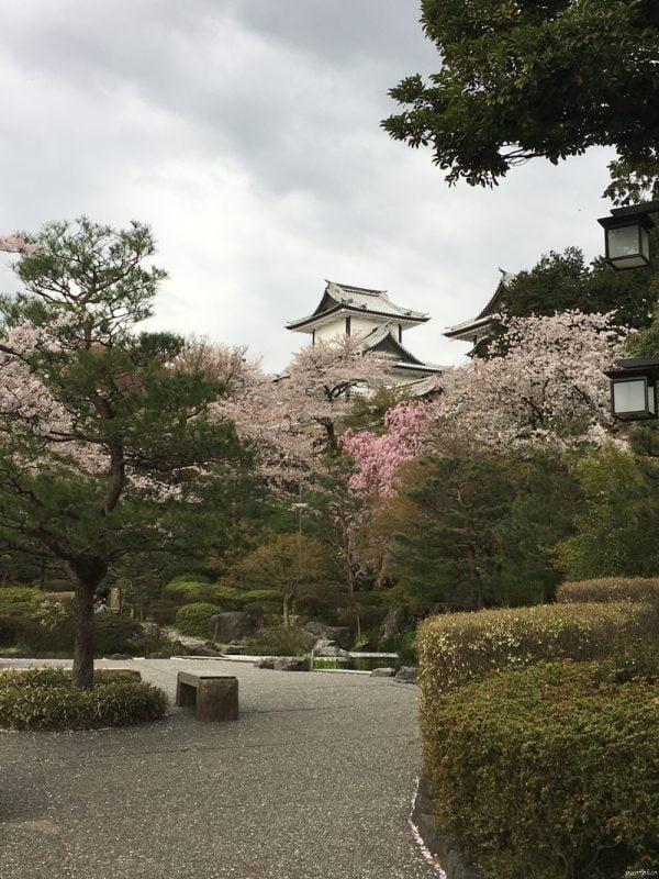 金沢城山公園的櫻花